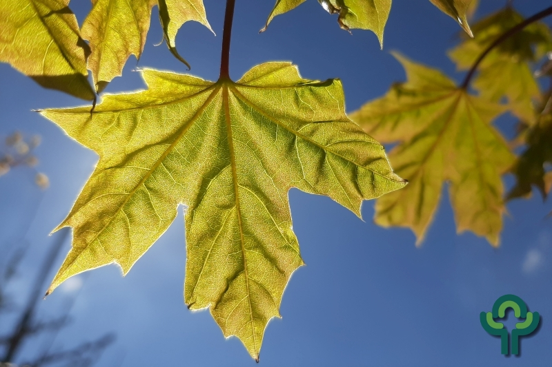 Acer 'Pacific Sunset'