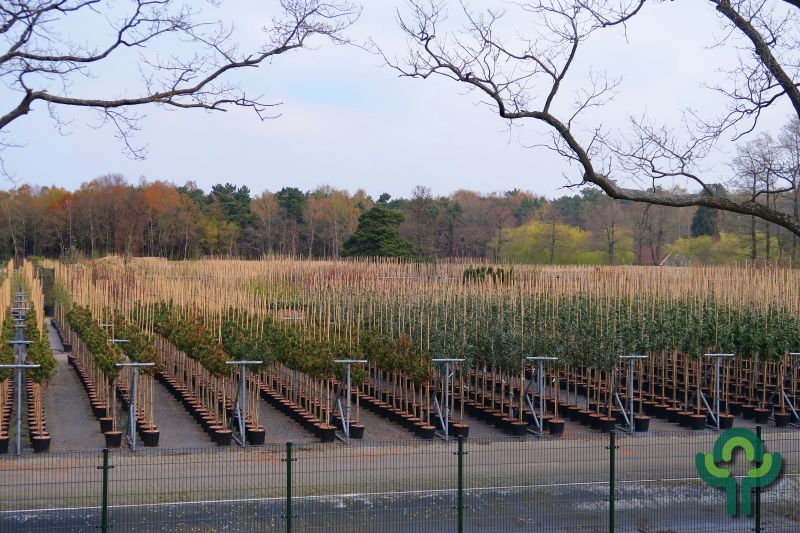 Neuproduktion Containerbäume