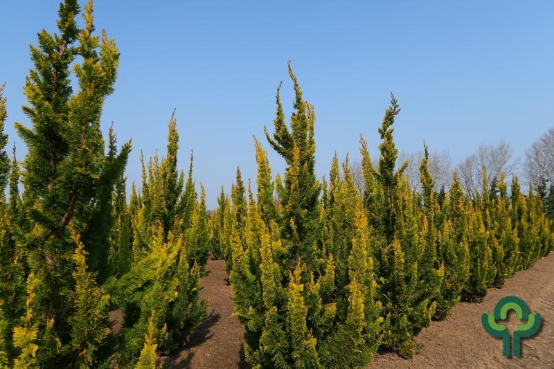 Chamaecyparis lawsoniana 'Yellow Spire'