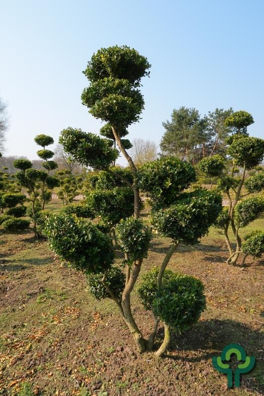 Ilex crenata 'Green Hedge' - Bonsai 175-200