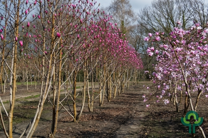 Magnolia meerstammen
