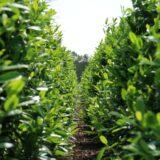 Prunus laurocerasus kwekerij